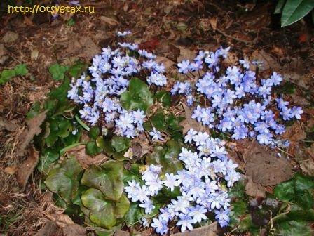 печеночница цветы