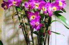 Правильный уход за орхидеей дендробиум нобиле