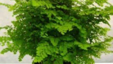Цветок комнатный адиантум проблемы выращивания