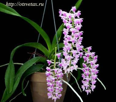 орхидея эридес