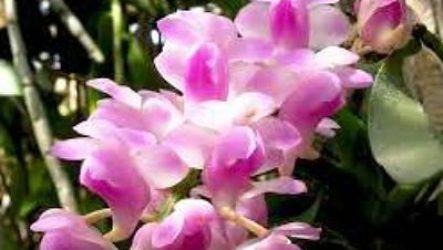 Цветок эридес уход, выращивание, виды