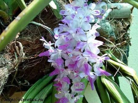 цветы эридес