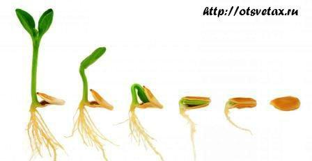 как прорастить семена дома
