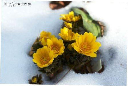 цветок адонис весенний