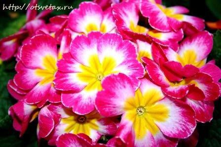 растения первоцветы