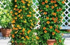 Тунбергия крылатая (Thunbergia Alata) растение для балкона