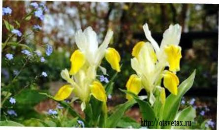цветок юнона бухарская
