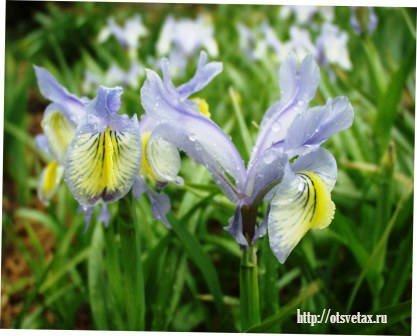 цветок юнона фото