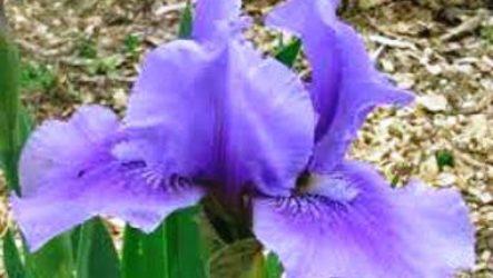 Цветок юнона (juno) описание, уход, размножение, виды