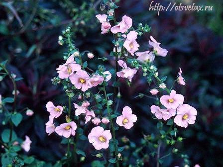 алонсоа pink_beauty
