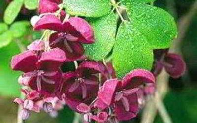 Акебия выращивание и уход, фото