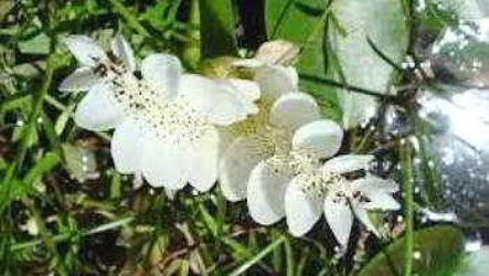 Апоногетон (Aponogeton) фото, уход, виды