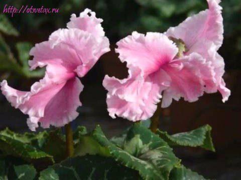 Цикломения цветок уход после цветения