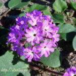 Аброния (Abronia) выращивание, виды, фото