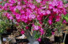 Адениум обесум — суккулент, цветущий круглый год