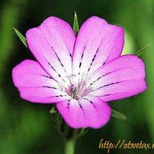 Агростемма (Agrostemma)