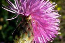 Амбербоа: выращивание и уход