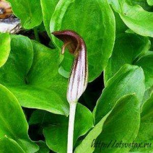 Аризарум: выращиваем садовый экзот