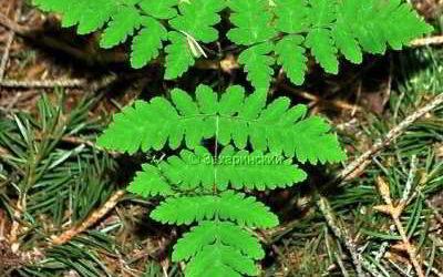 растение голокучник