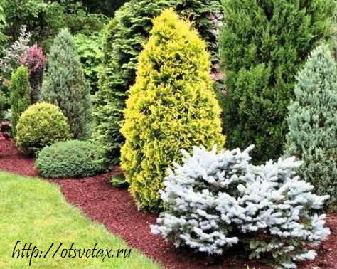 купить хвойные деревья