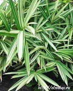 арундинария variegata