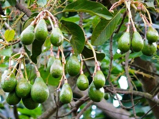 плоды авокадо