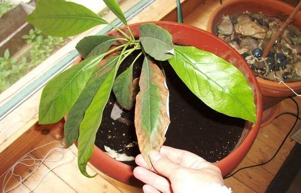фитофтороз на домашнем авокадо