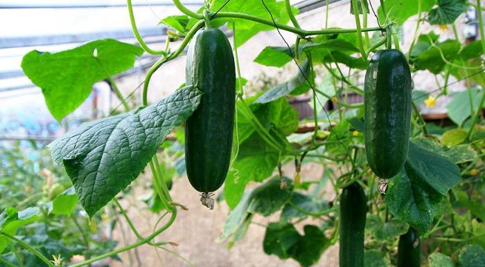 огурцы в теплице сорта для выращивания в регионах