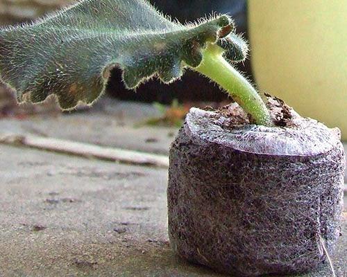 лист фиалки в торфяной таблетке размножение