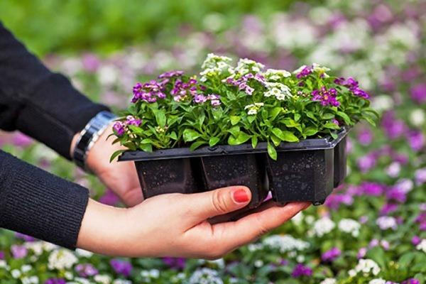 рассада цветов в 2019 году когда сажать
