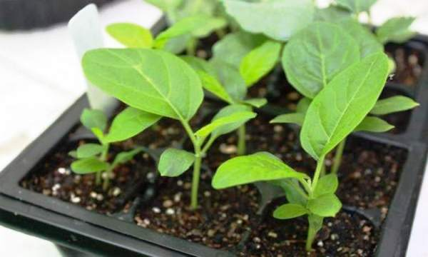сроки посева семян на рассаду в 2019 году