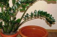 Долларовое дерево: правила пересадки растения в другой горшок