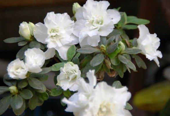 цветок азалия в магазине фото