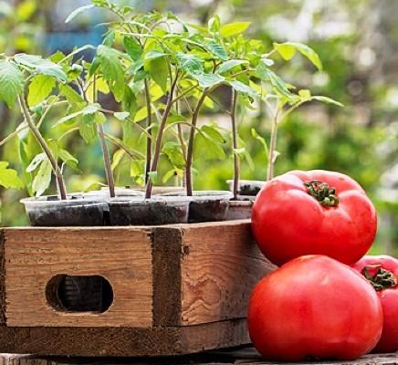 помидоры посадка на рассаду в 2019 году