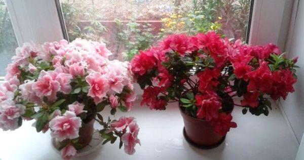 цветущие азалии адаптация после покупки в магазине