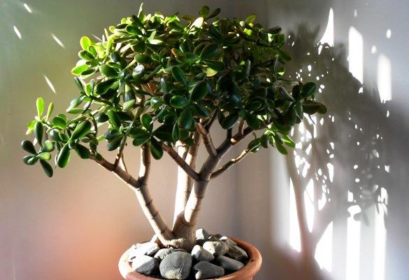 денежное дерево в горшке фото