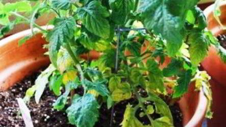 Болезни рассады томатов описание с фотографиями, способы лечения