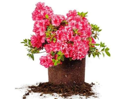 цветок азалия грунт