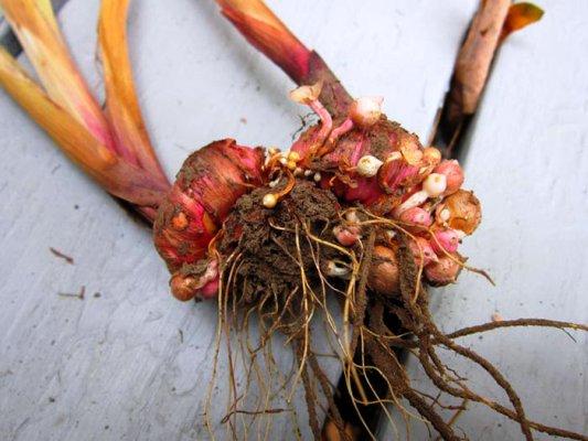 как проращивать гладиолусы весной