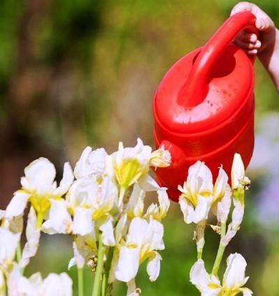 цветы ирисы правила ухода полив