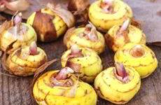 Гладиолусы весной: когда доставать луковицы, как их прорастить в домашних условиях