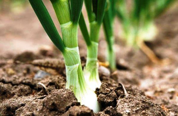 когда можно сажать весной лук