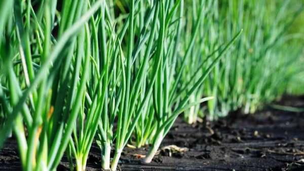 когда и как сажать лук весной в открытый грунт