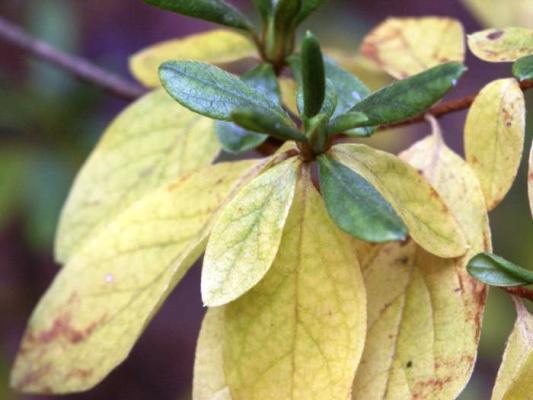 желтеют и опадают листья азалии