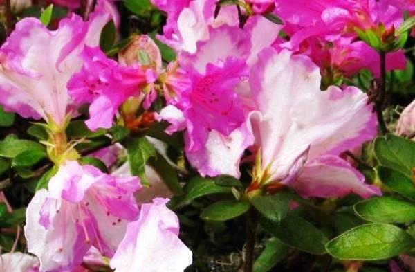 цветок азалия опадают листья