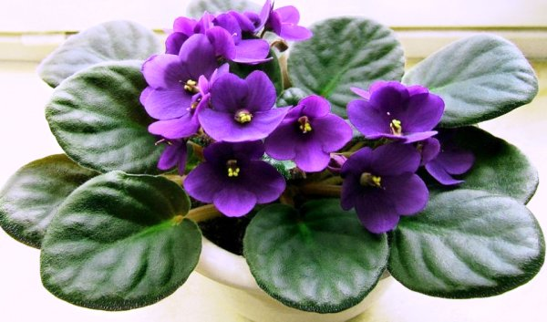 цветок фиалка фото