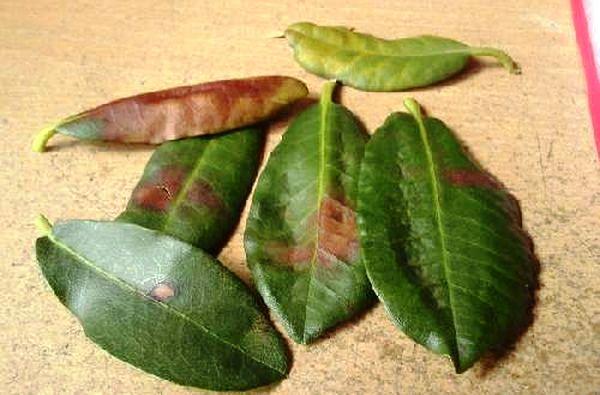 опавшие листья азалии