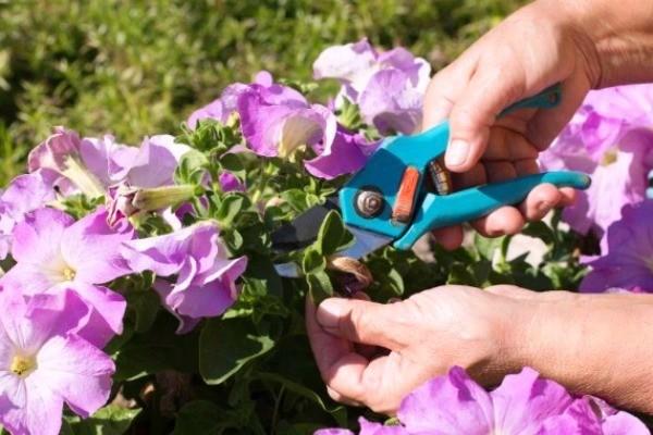 цветущая петуния прищипывание