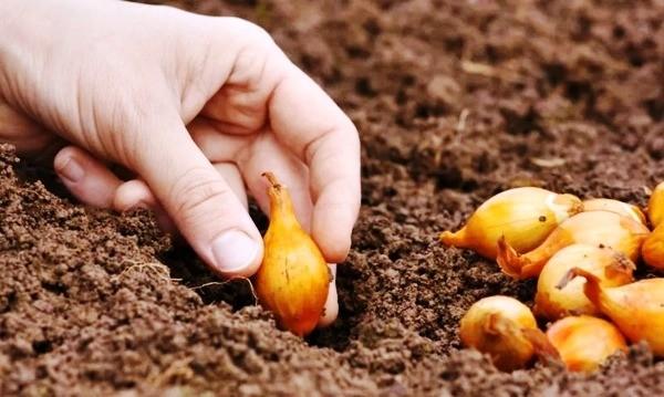 когда сажать лук весной в регионах