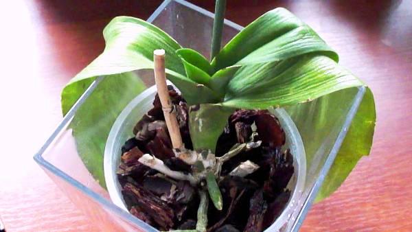 листья у орхидеи вялые почему что делать